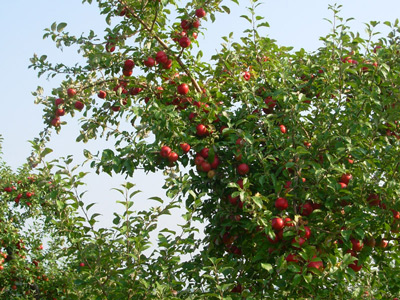 picture of apple tree with apples