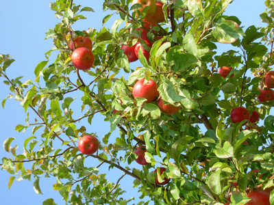 picture of top of apple tree with apples on it