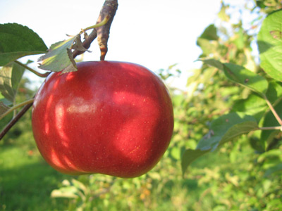 picture of apple hanging from tree